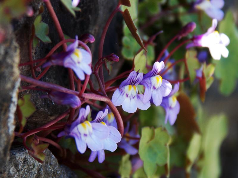 kenilworth ivy